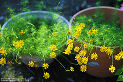 (nodie26) Tags: light flower color beautiful yellow tour feel taiwan   hualien cosmos  perennial      coreopsis   calliopsis