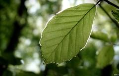 Green leaf on fire (Nico_bzh29) Tags: wood detail macro tree nature fire leaf dof natural bokeh bretagne vegetation arbre fort feu bois feuille finistre