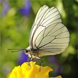 photo boillon christophe / photo macro au carré papillon & nature /juste un papillon dans la lumière du soleil couchant à chamonix