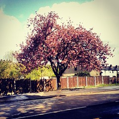 Pink Tree (laura_maddison) Tags: road pink blue sky tree nature beautiful clouds colours view pavement trunk