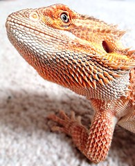 Hiccup the bearded dragon (Shofoster) Tags: dragon bearded uploaded:by=flickrmobile flickriosapp:filter=nofilter