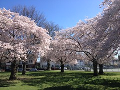 Blossom in Moormead Park (Rachel S Walsh) Tags: pink flowers trees summer green nature beautiful beauty grass photo spring pretty colours seasons bright blossom wildlife sunny bloom colourful