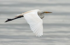 Great Egret Flight 1 (krisinct) Tags: bird beach nikon tokina tc 300 tamron f28 d300 14x