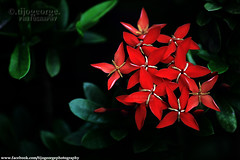 Star Flower (tijogeorge photography) Tags: red flower redflower bunchofflowers chethi starshapedflower
