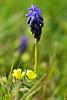 Florecillas de primavera (Atarugá) Tags: naturaleza plantas web flor bella fantástico violeta fantástica impresionante sorprendente silvestres aproximación interesantísimo conmovedora interesantísima tipodecaptura palabrasweb
