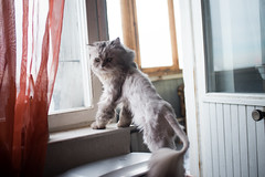 Come with me (akk_rus) Tags: pet cats pets nature animal animals cat persian chats nikon feline chat europe russia moscow chinchilla gato 28 nikkor marcello moskau d800 moscou     3570   nikkor357028 nikond800