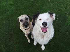 Punchkin and Shepo (Rayya The Vet) Tags: dog pets vet canine australianshepherd dogwalk twitter whippetcross