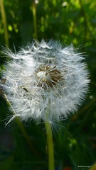 Shall I make a wish now? (Belinda F.) Tags: plant nature countryside puff blow dandelion dorset wish stour dandellion stourvalleywalk
