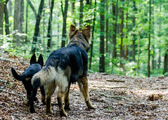 GSD Boys Hike 2013-06-08-1 (falon_167) Tags: dog puppy shepherd german gsd germanshepherddog kastle aikon