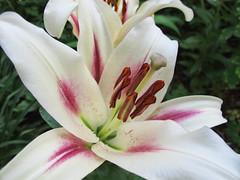 Lily 1 (Helen Orozco) Tags: yellow lily style stamen stigma filament biopark tepal