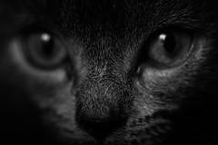 5B8A6218s (Rasidel Slika) Tags: pet cats macro cat canon ross eyes kitten feline kitty slika 100l delobbo 5d3 rossimages rasidelslika rasidel wwwrossimagescom