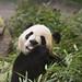 da mao the panda - toronto zoo - 05