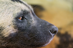 Close-up of an African wild dog