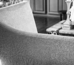 sneaking a peek (John Cecilian) Tags: dog pet beagle animal monochrom leicamonochrom