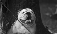 aaaa sedutooo (felinabubo) Tags: italy dog cane nikon emotion natura bn e bianco nero mastino cinofilia molossoidi molossoide trebaseleghe cinofili fieradeimussi d3100 nikkor55300 espressivoemozioni