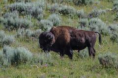 Bison at Fishing Bridge IMG_4501 (grebberg) Tags: usa yellowstonenationalpark yellowstone wyoming bison bisonbison fishingbridge