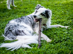 Back to stick chewing (Graham Gibson) Tags: park blue dog playing fur collie pittsburgh coat border olympus panasonic stick bordercollie fetch merle 45mm gf1