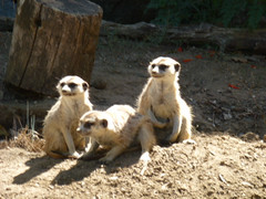 Meerkats (eliixir) Tags: wild beautiful animals meerkat creatures