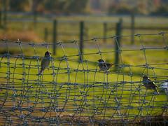birds on a wire (beckycaplice) Tags: birds wire barbedwire magichour umass
