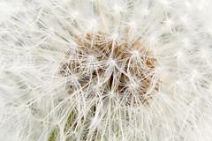 Dandelion - Paardebloem (RunningRalph) Tags: flower nature nederland dandelion gelderland paardebloem waardenburg tbroek