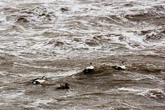 Not bothered by rough seas (martinstelbrink) Tags: germany island duck waves sony ducks sigma insel northsea foam ostfriesland tele enten ente nordsee schaum wellen baltrum eiderente niedersachsen lowersaxony roughsea commoneider eastfrisia a700 eiderenten rauesee sigma120400mmf4556