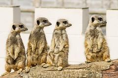 Meerkats (Suricata suricatta) (Proper Job Productions) Tags: meerkat suricatasuricatta suricata