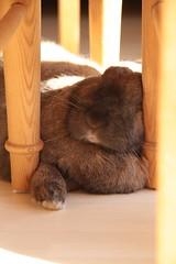 Emma (Lckchen1973) Tags: sleeping rabbit tired schlafen hase kaninchen