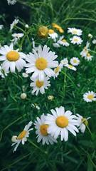 () Tags: flower nature nokia carlzeiss nokialumia1020