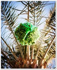 Dating season (Fortunes2011. Re start) Tags: tree net leaves fruit palm trunk dates fronds fruitontree dateseason fortunes2011nikon