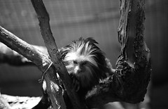 Washington D.C. (Day Three) (liferefocused365) Tags: washingtondc nationalzoo goldenheadedliontamarin