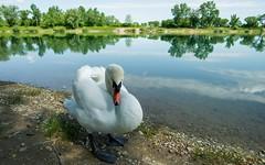 swans (19) (Vlado Ferenčić) Tags: birds animals lakes croatia swans nikkor173528 nikond600 zaprešić zajarki lakezajarki