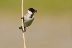 Reed Bunting (Severnrover) Tags: male bird reed nature birds reeds stem wildlife flies perched bunting