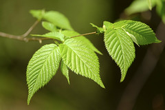 Birch Leaves (Matt0513) Tags: park plant macro tree green nature leaves forest leaf branch fuji pennsylvania north western fujifilm birch 55200mm xe1