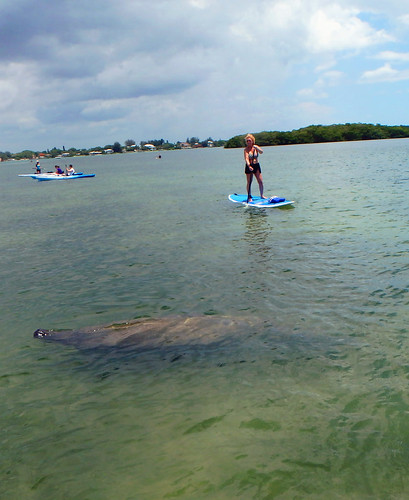 manatee while on Sarasota tour