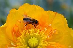 Abeille sur fleur orange (laurentmorand) Tags: orange flower macro nature fleur jaune plante garden photo jardin printemps abeille insecte vegetal pavot morand