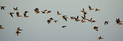 Brent geese in flight - panorama (P_1_B) Tags: bird nature birds geese wildlife flock birding sigma goose lincolnshire birdsinflight birdwatching flocks birdinflight brentgeese geeseinflight framptonmarsh sigma150500 rspbframptonmarsh sonya77 brentgeeseinflight slta77 slta77v sonya77v