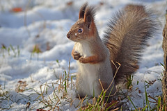 - Who ate all my nuts??? (L.Lahtinen (nature photography)) Tags: squirrel redsquirrel snow cold frost winter nikond3200 55300mm nature nikkor orava kurre squirrelinwinter furry fellow funnysquirrel funny wildlife wild finland suomi hungrysquirrel cute adorable pretty luonto eläin lunta lumi suloinen söpö flickr larissadatsha dof longtufts naturephotography europe