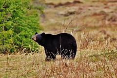DSC5473 (Highway 17- Wawa - Canada) Tags: ursos bear