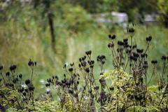 Seed pods in Norsborg/Botkyrka/Stockholm, Sweden 19/8 2912. (photoola) Tags: norsborg sturehofslott slott blommor castle seedpods photoola sweden nature