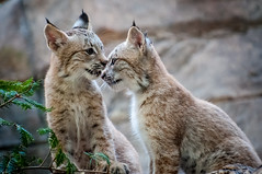 Les soeurs Lynx (Lynx Sisters) (Joanne Levesque) Tags: lynxcanadensis lynxducanada faune kits chatonslynx biodme montreal nikond90 canada animals animaux explore20160926