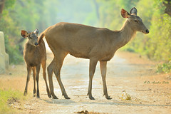 Yours Affectionately.... (Anirban Sinha 80) Tags: nikon d610 500mm ed vr ii n bokeh deer fawn