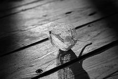 Beauty is a fragile gift. (Ovid) (Bilderwense) Tags: blackandwhite blancoynegro noiretblanc bw sw bnw monochrom monochrome mono nikkor 50mm f18 nikon d5000 schwarzweis germany norddeutschland deutschland europe europa einfarbig nikond5000 50mmf18 outdoor blume pflanze flower plant schrfentiefe bokeh dof depthoffield tiefenunschrfe unschrfe shadow sombre dark dunkel fragile berry fall autum herbst