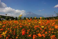 Cosmos field and mt Fuji (Koku85) Tags: fuji cosmos garden flower yellow landscape japan