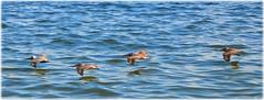 DSNorthshore Park - St Petersburg, FloridaC_9826 (lagergrenjan) Tags: northshore park st petersburg florida tampa bay pelicans