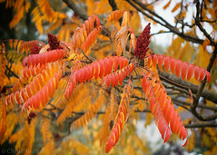 Prachtvolle Herbstfarben  (Christian Passi - Steher82) Tags: herbst festbrennweite bltter laub baum heiter pflanze photosynthese fhotosynthese fall autumn sonya6000 germany essigbaum rhustyphina