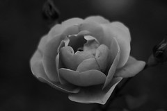 Roses in black and white (sirenajing) Tags: monochrome blackandwhite flowers floral plants peaceful park volksgarten vienna austria europe outdoors canon nature autumn tranquil bokeh