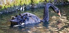 black swan (joybidge (0n vacation)) Tags: trishcanada naturepatternscanada mauihawaii blackswan