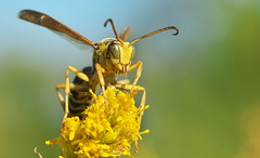 Wasp (Gavin Edmondstone) Tags: wasp oakville ontario gx8 macro