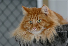 Tommy ... (Jan Gee) Tags: tommy ginger red orange cat kater tomcat katze baard beard maine coone coon chat gata gato gatto