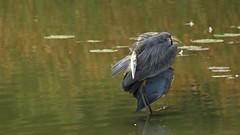 Preening Great Blue Heron (Sandra_Gilchrist) Tags: sandragilchrist lyndeshores lyndeshoresconservationarea cloca greatblueheron whitby whitbyon whitbyontario avian bird heron blue green